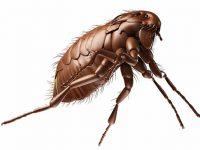 5 fleas