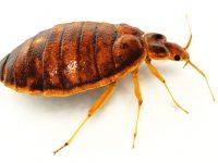 8 bedbug